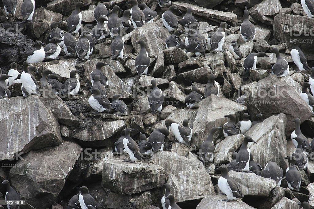 Crowds of nesting murres Newfoundland royalty-free stock photo