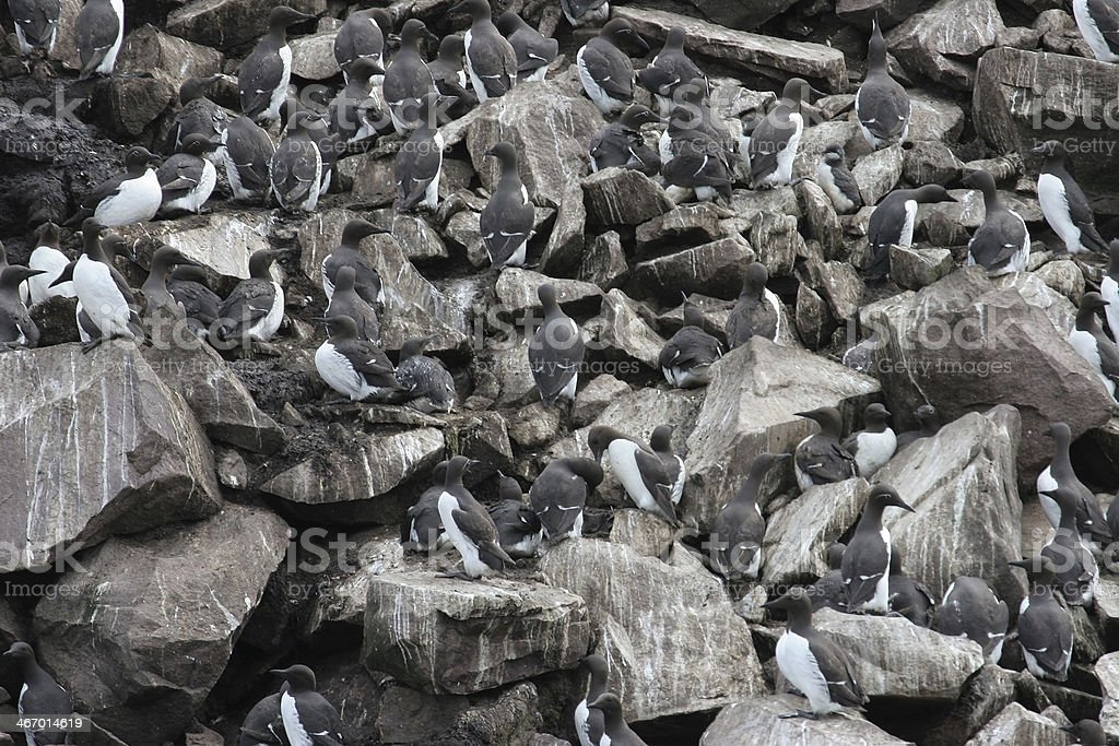 Crowds of nesting murres Newfoundland stock photo
