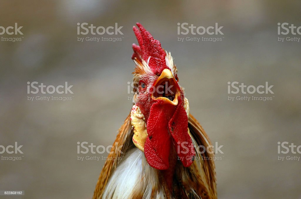 Crowing rooster cock stock photo