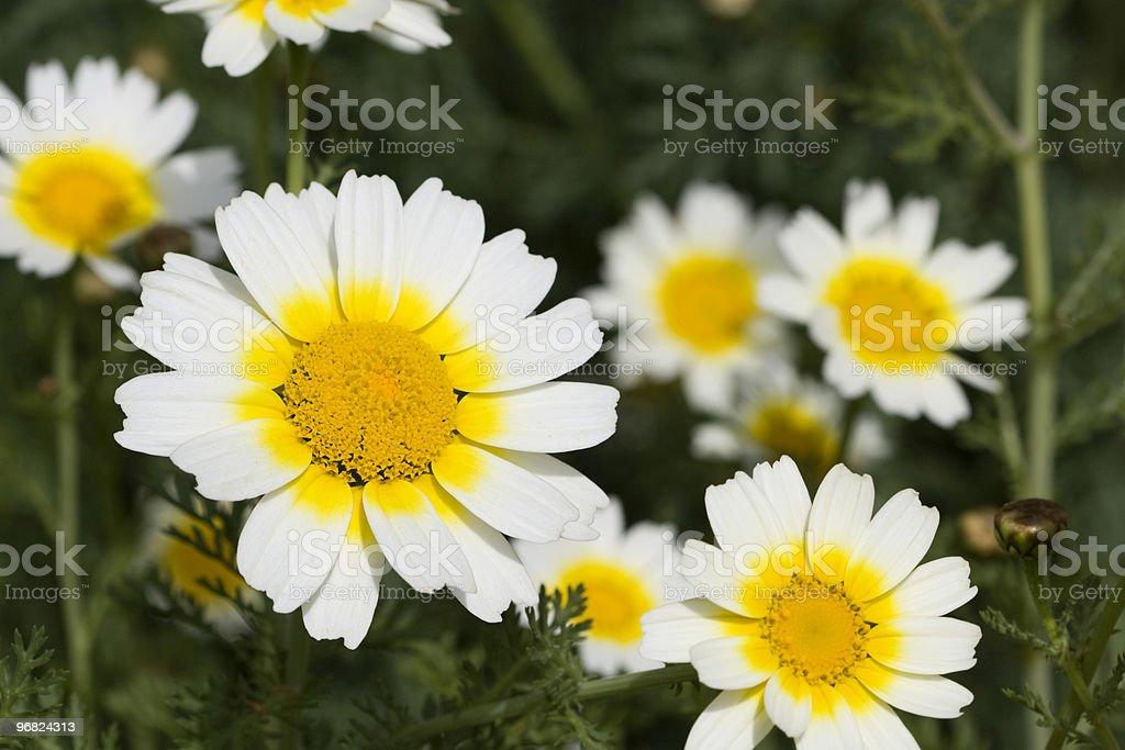 Crown daisies stock photo