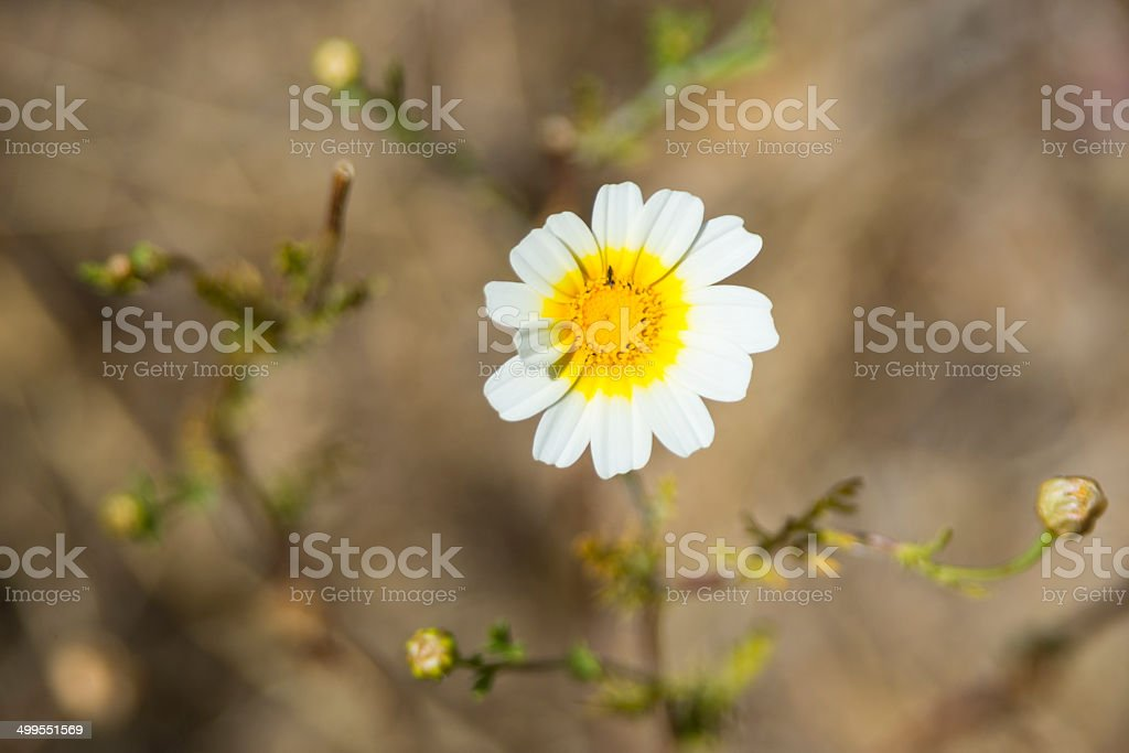 Crown Daisy royalty-free stock photo