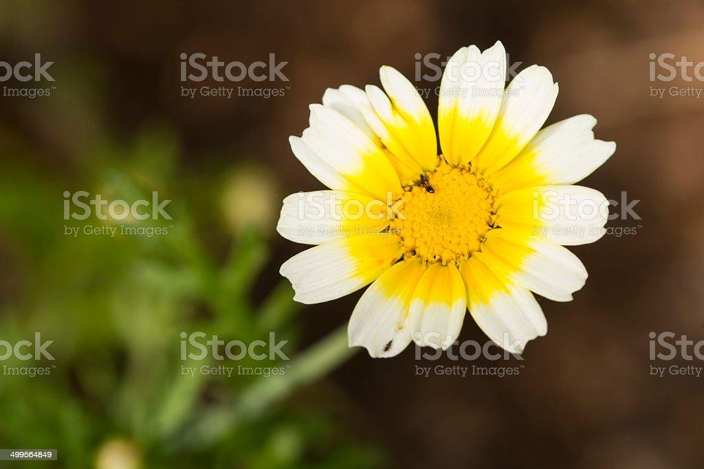Crown Daisy royalty-free stock photo