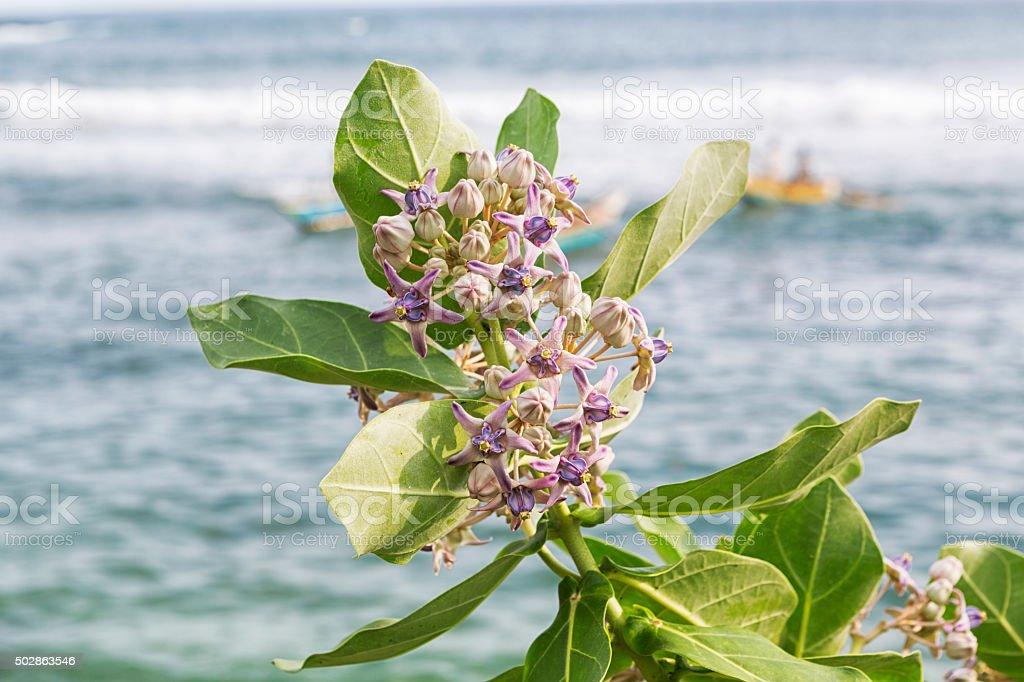 Crown Flower (Calotropis Gigantea) stock photo