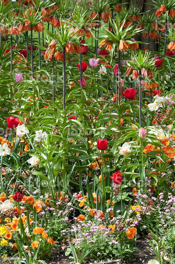 Crown imperial (Fritillaria imperialis) stock photo