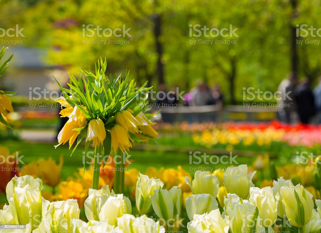 Crown imperial yellow flower in a bed of tulips stock photo