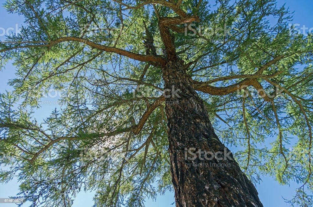 Crown of a Siberian larch on a background of blue stock photo