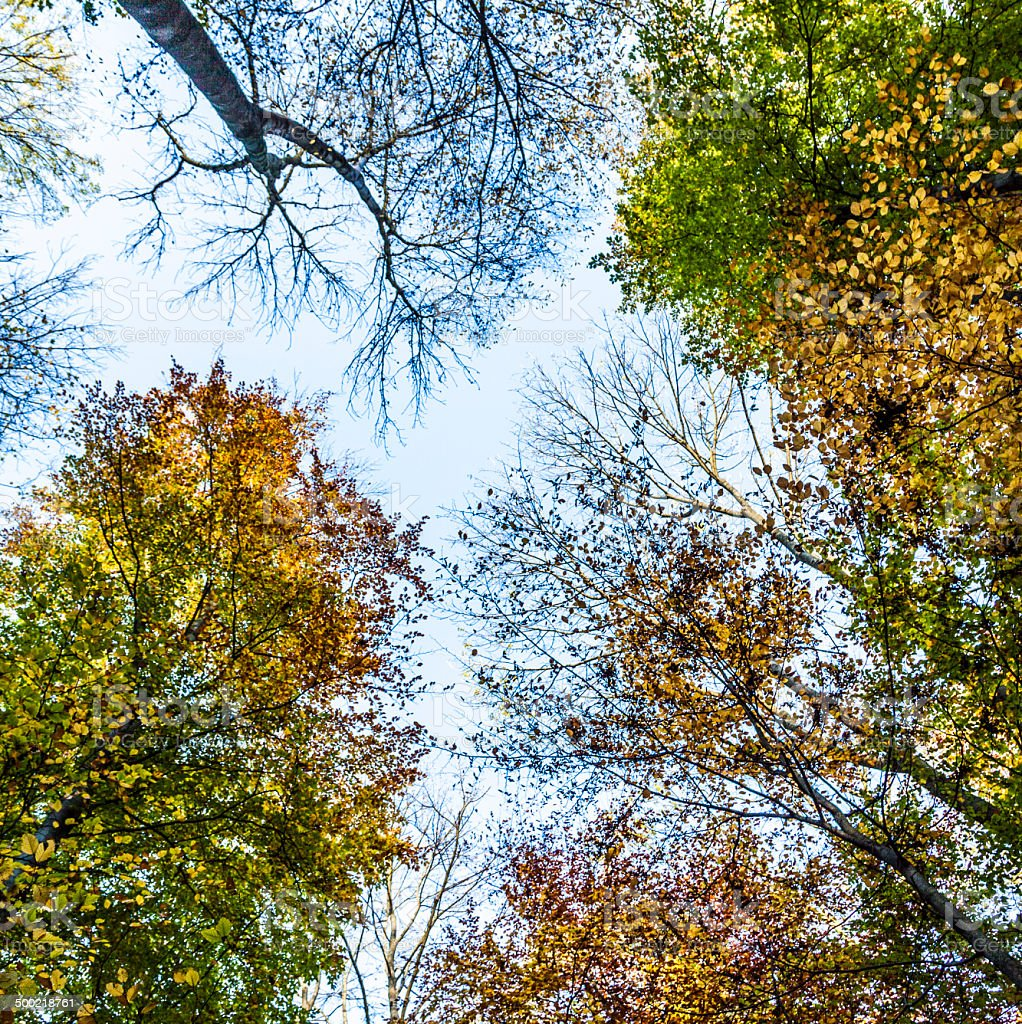 Crown trees and pine against sky stock photo