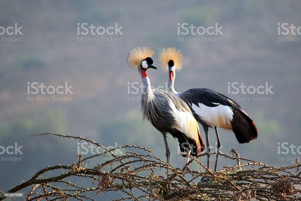 Crowned Crane Couple stock photo