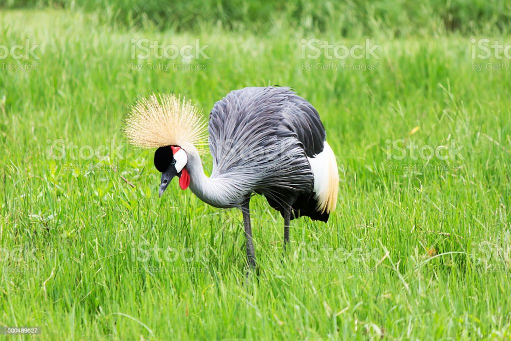 Crowned Crane in meadow royalty-free stock photo