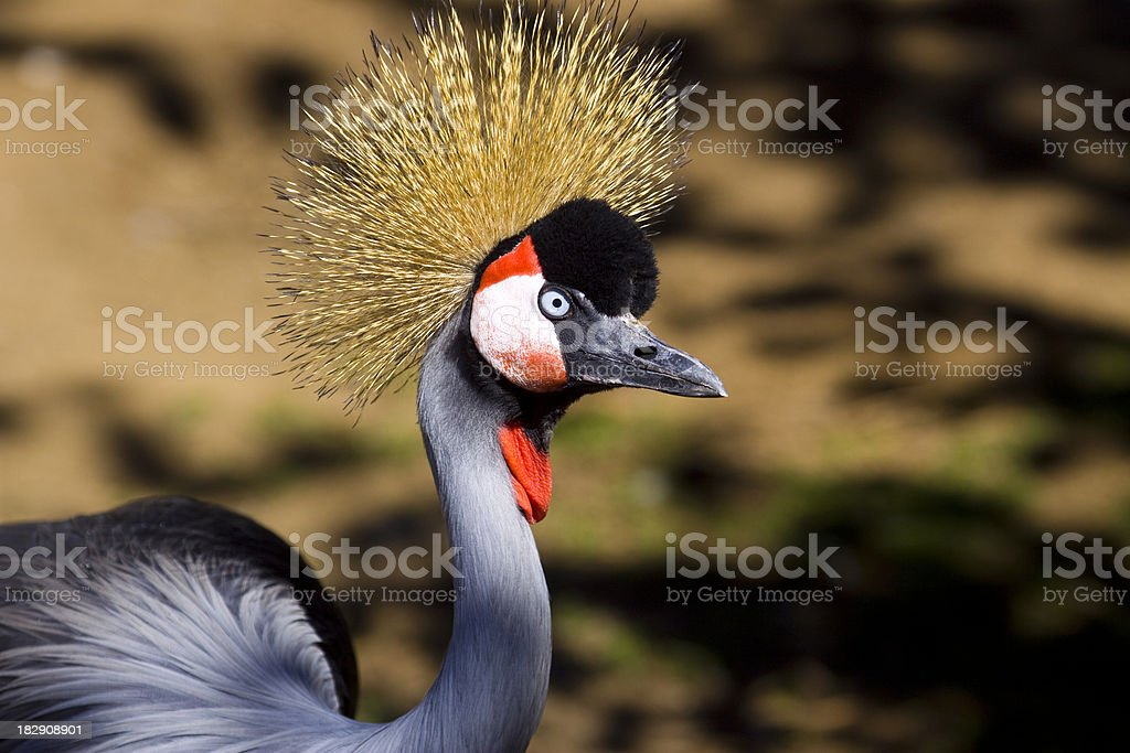 Crowned Crane stock photo