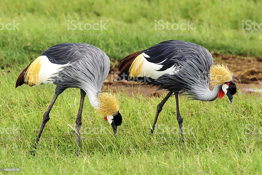 crowned crane royalty-free stock photo