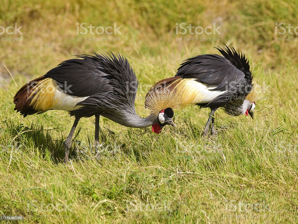 Crowned cranes stock photo