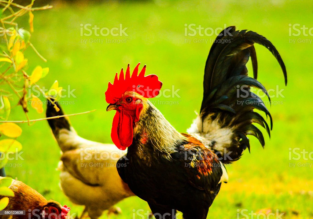 Crowned Hen stock photo