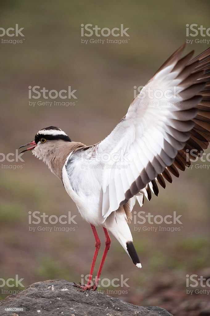 crowned lapwing royalty-free stock photo