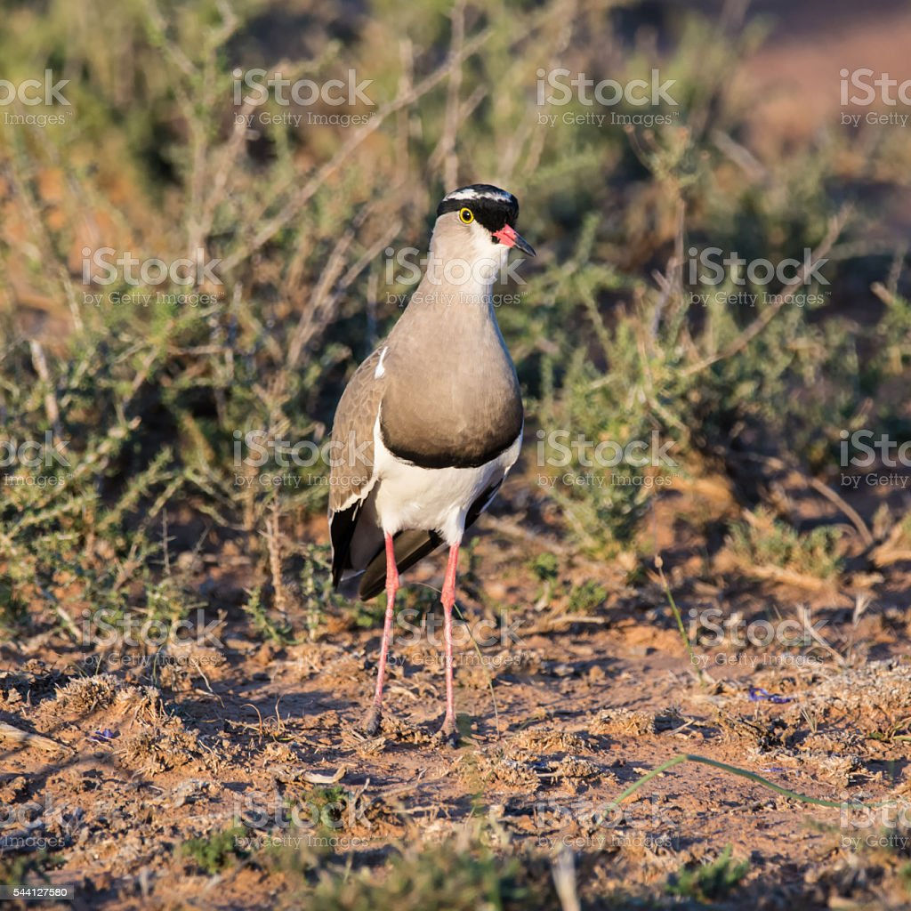 Crowned Lapwing stock photo
