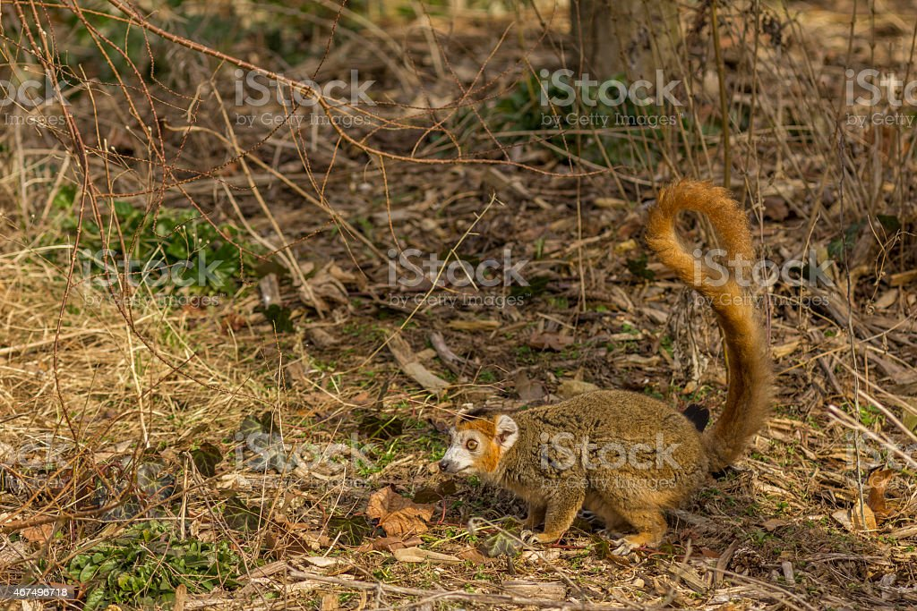 Crowned Lemur in the ground stock photo
