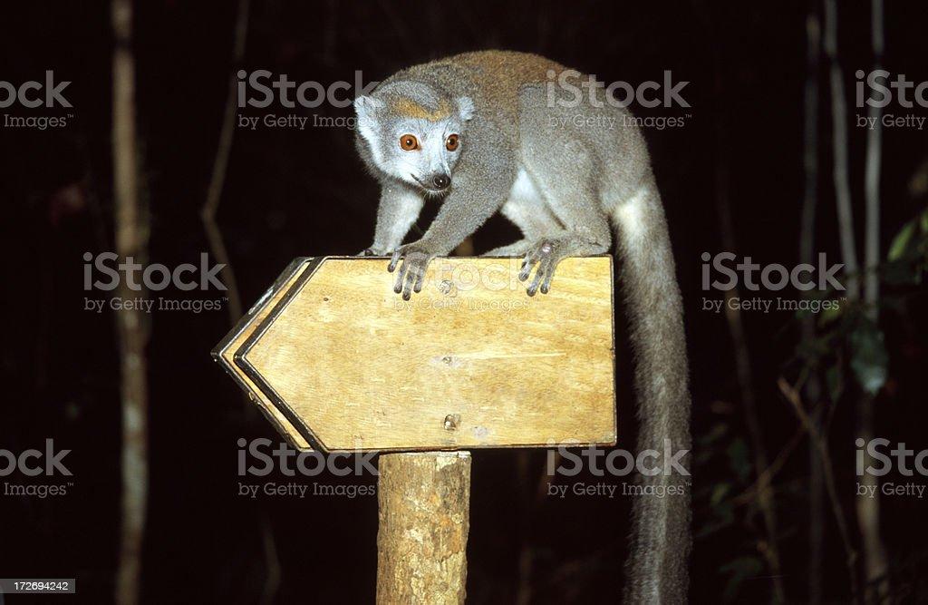 Crowned Lemur on arrow sign stock photo