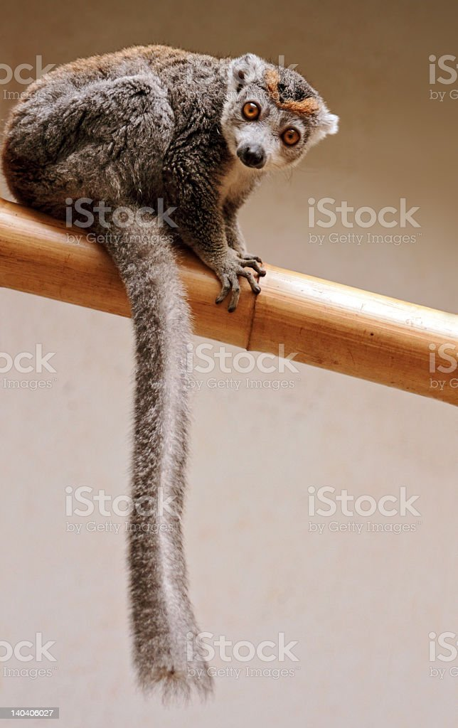 Crowned Lemur stock photo