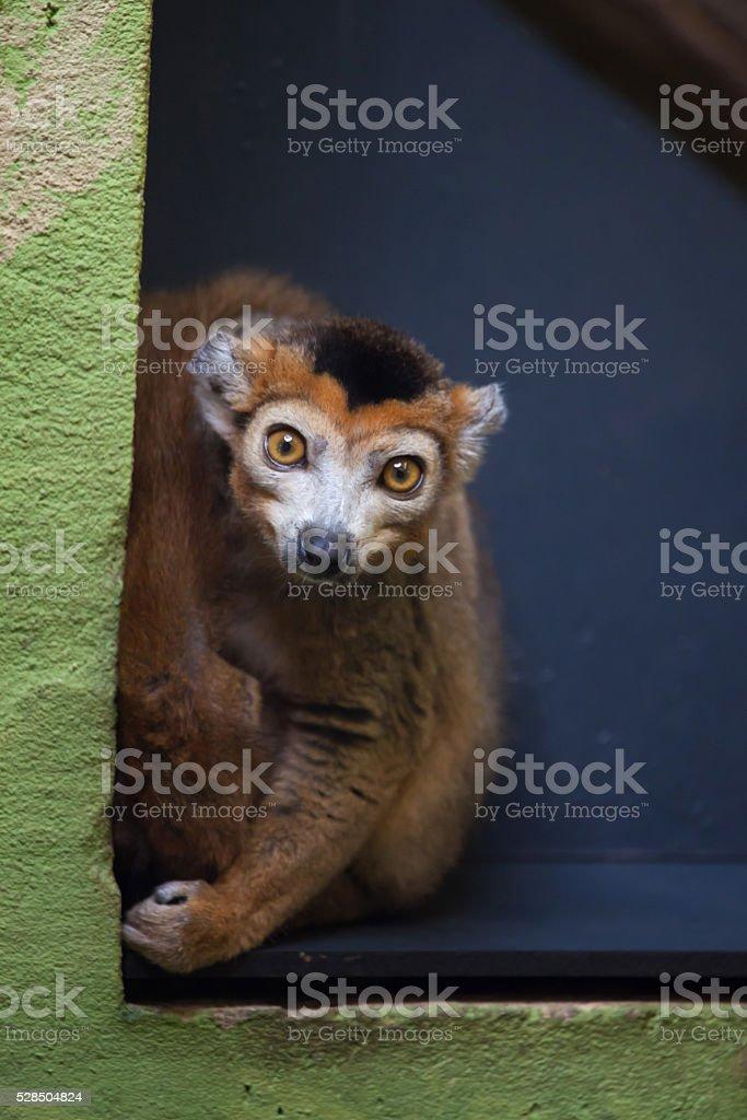 Crowned lemur (Eulemur coronatus). stock photo
