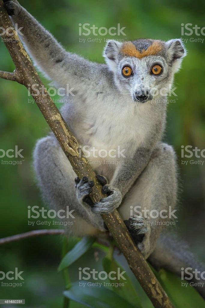 Crowned Lemur (Eulemur coronatus), wildlife shot, Madagascar stock photo