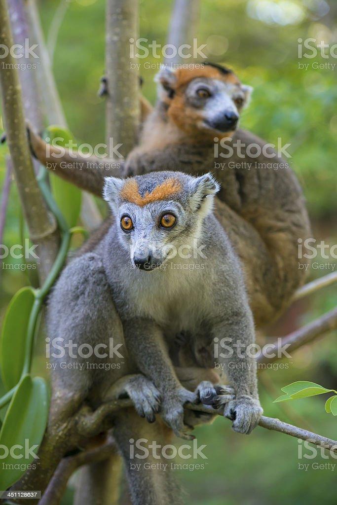 Crowned Lemurs (Eulemur coronatus), wildlife shot, Madagascar stock photo