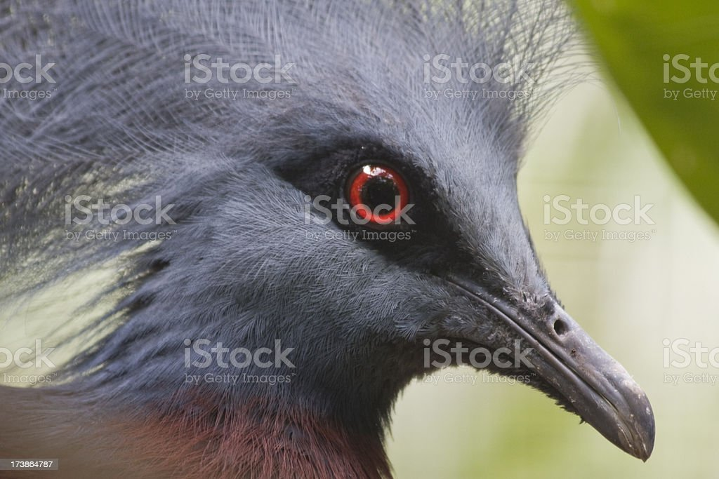 Crowned Pigeon royalty-free stock photo