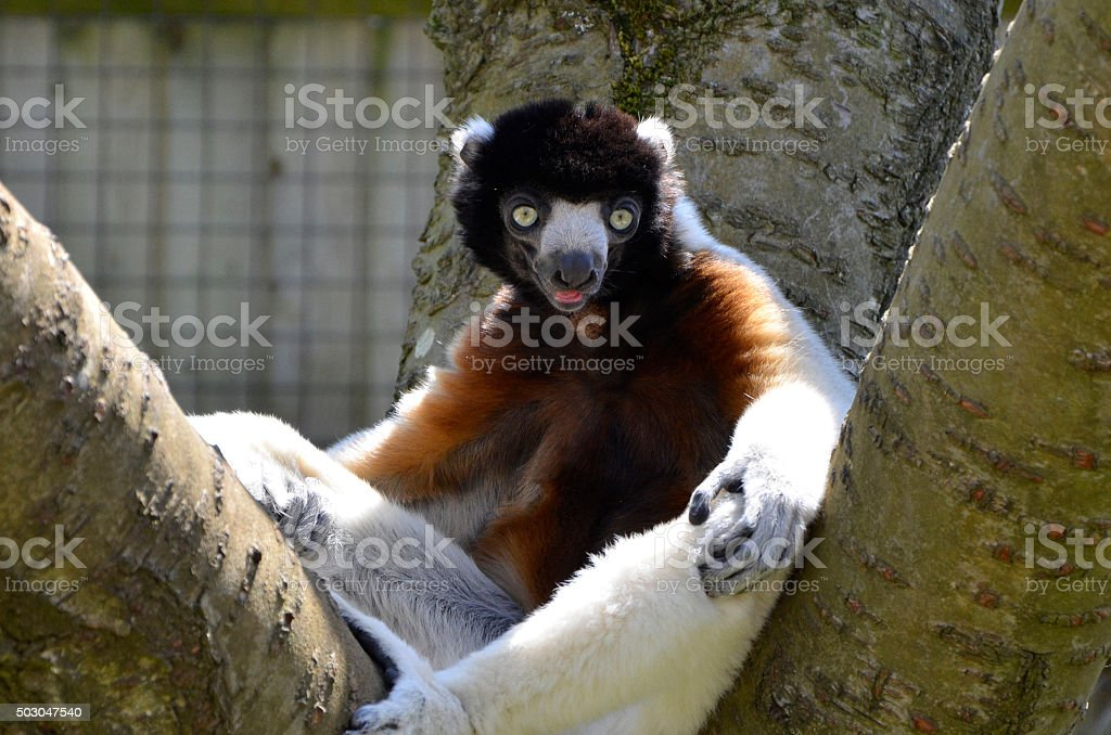 Crowned Sifaka Lemur Sat in a Tree stock photo