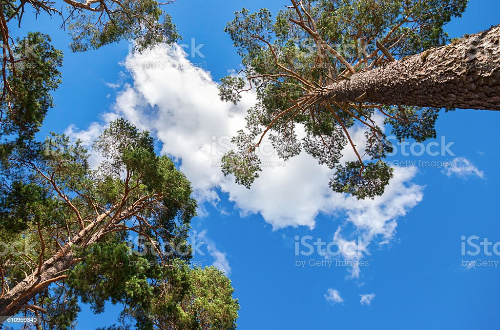 Crowns of tall pine trees above his head stock photo