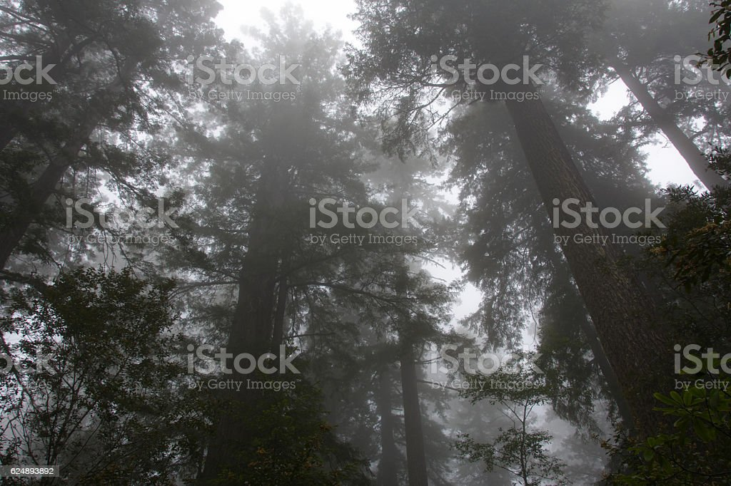 Crowns of trees in the Redwood National Park, California USA stock photo