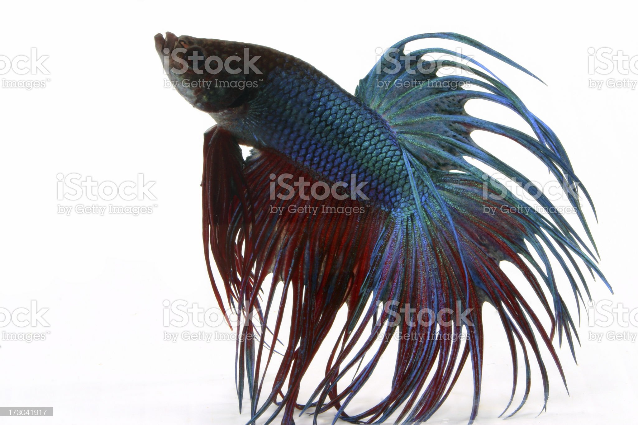 crowntail betta royalty-free stock photo