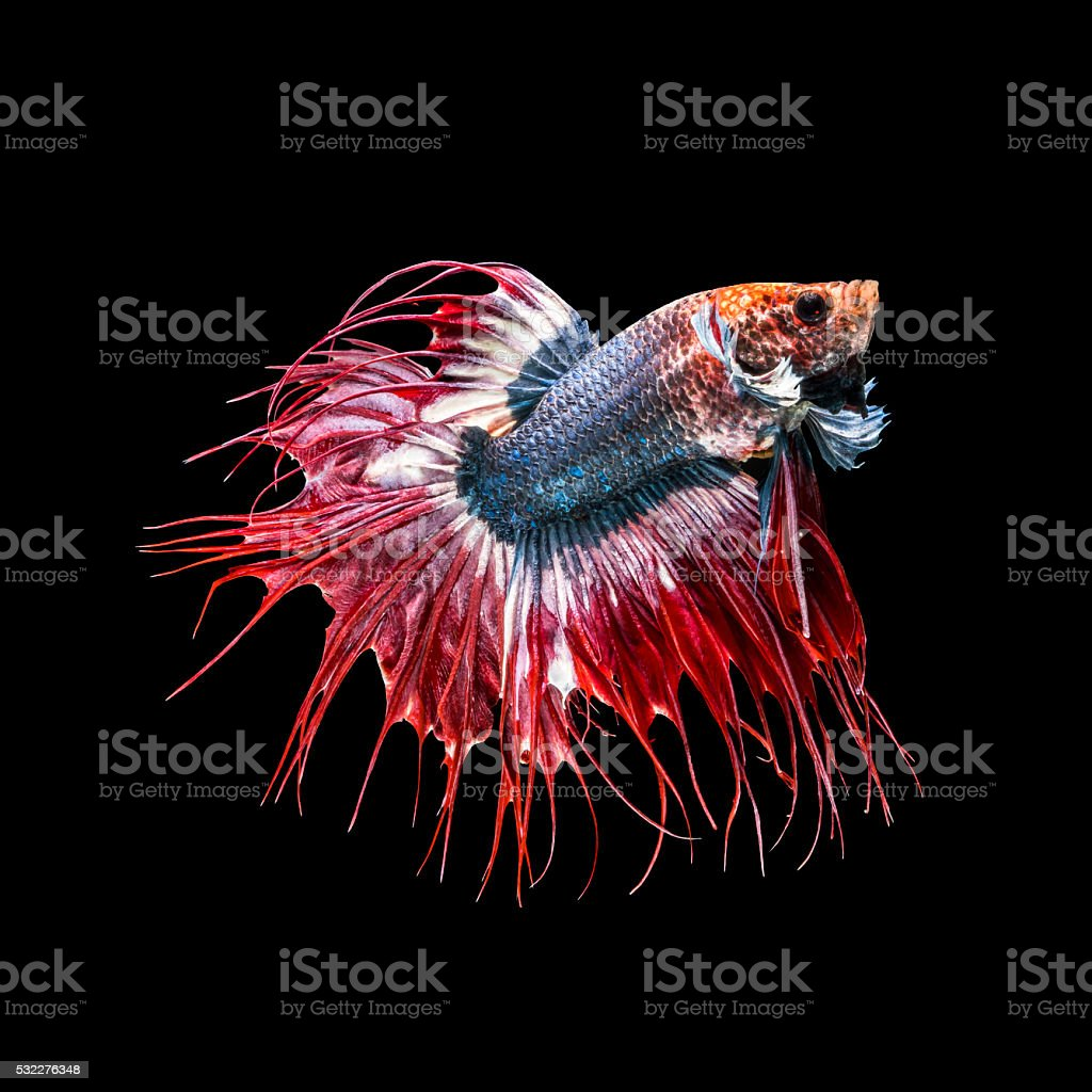 Crowntail fancy thailand, siamese fighting fish stock photo
