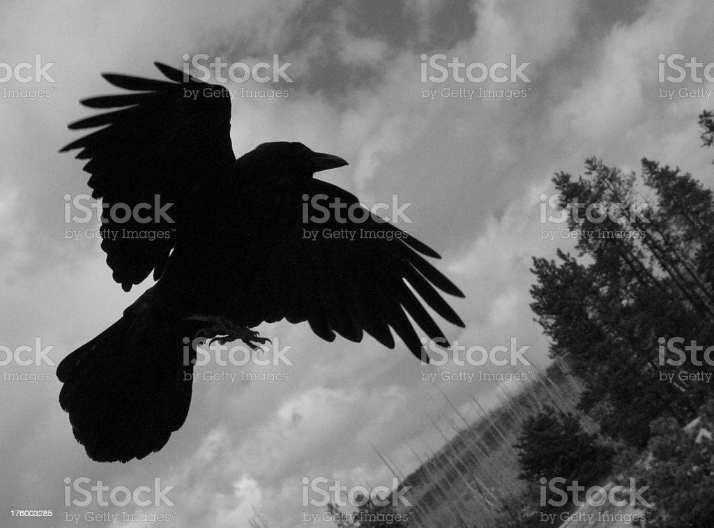 Crow/raven in mid-flight royalty-free stock photo