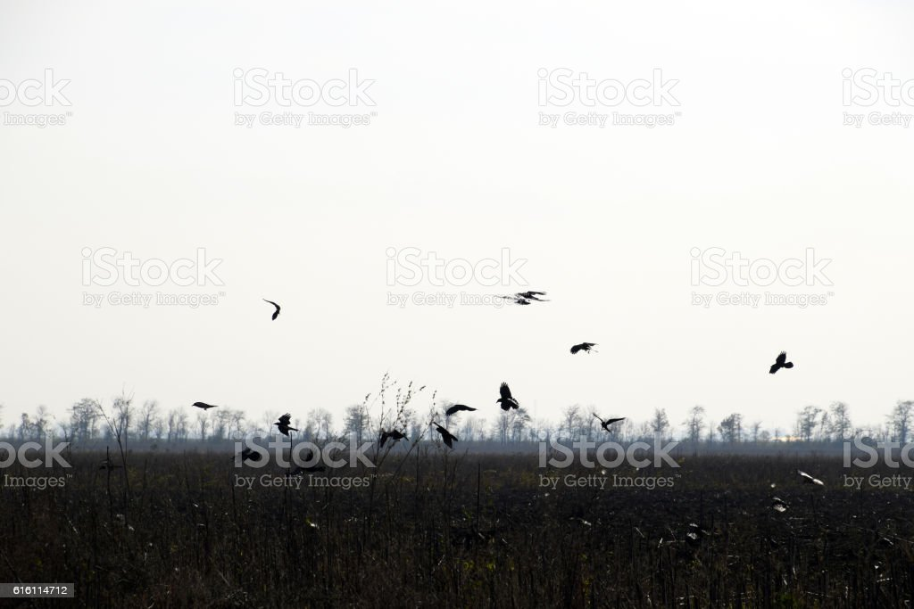 Crows circling above the plowed field in search of worms stock photo