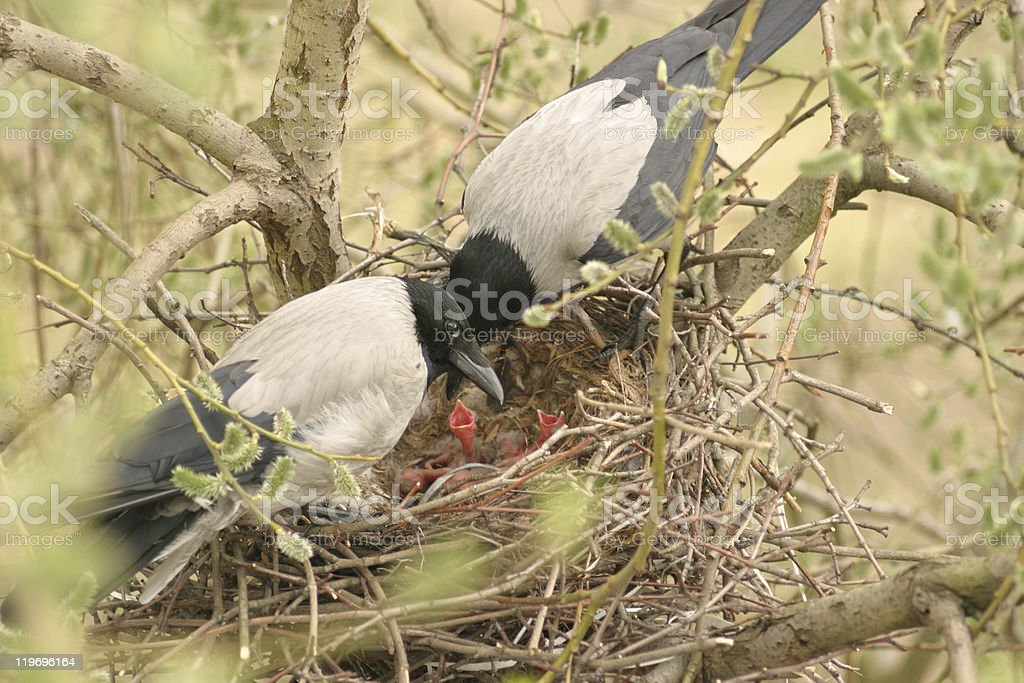 Crows family with younglings in the nest royalty-free stock photo