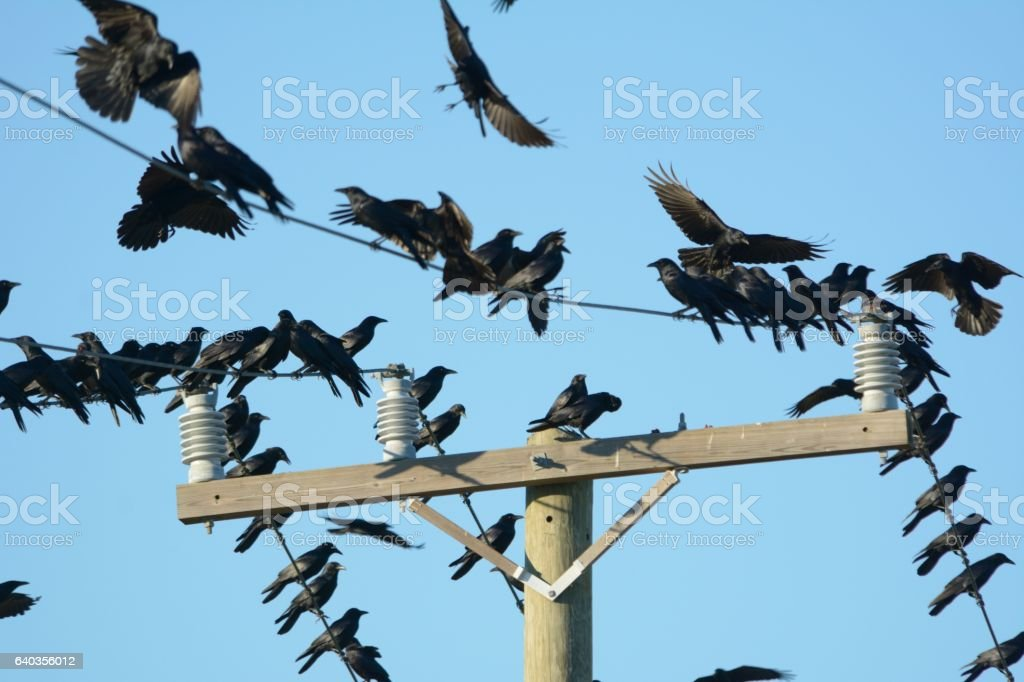 Crows on a wood transmission pole stock photo