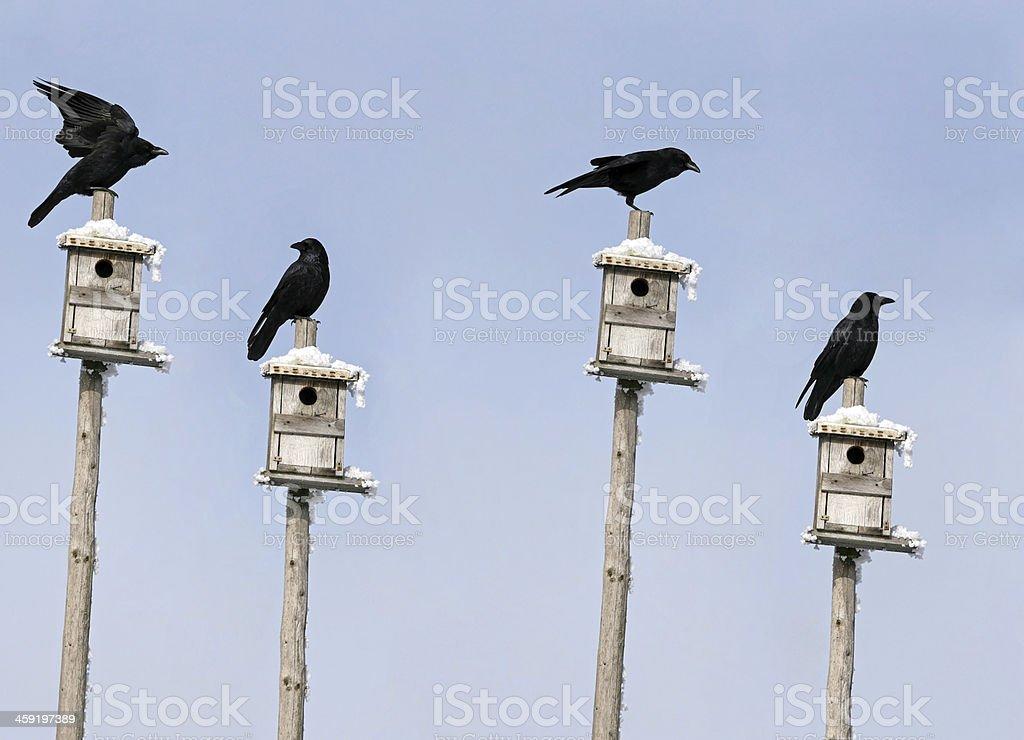 crows stock photo