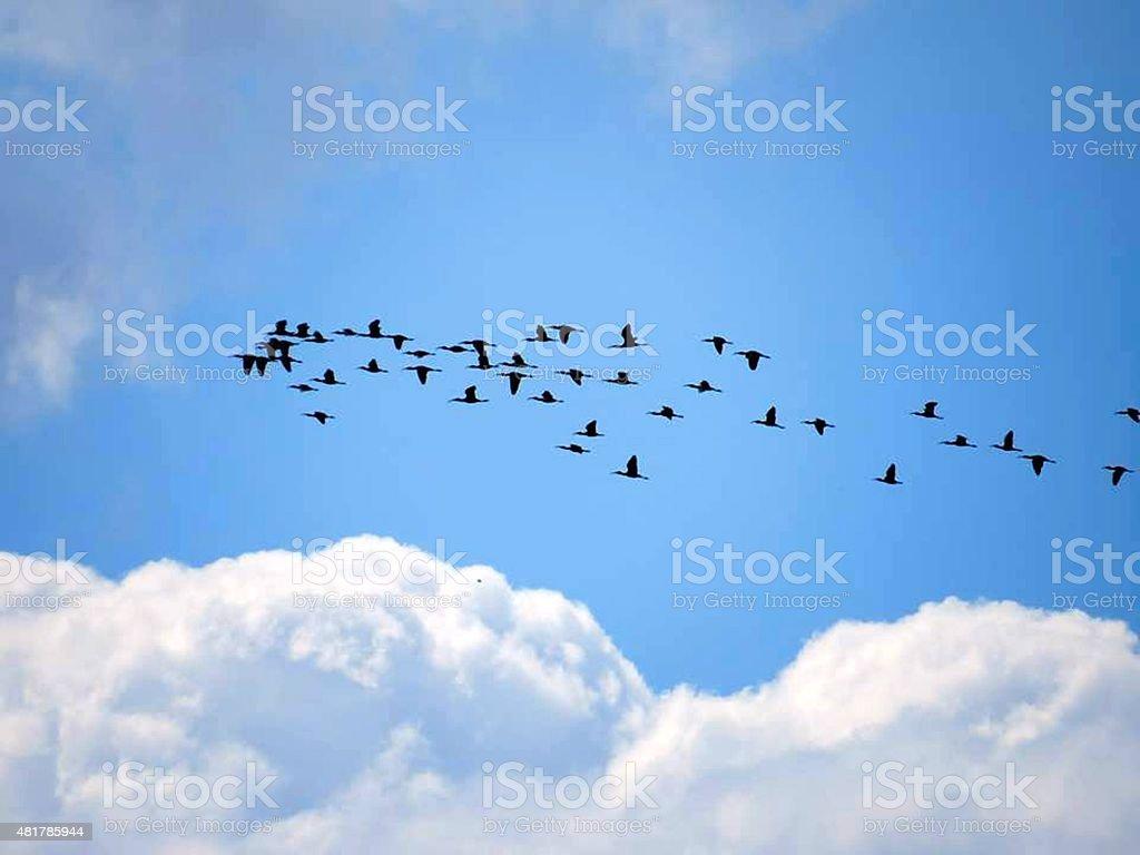 cuervos foto de stock libre de derechos