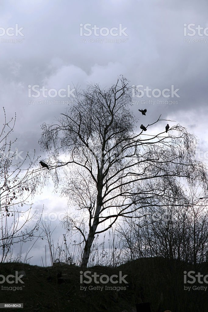 Crows stock photo