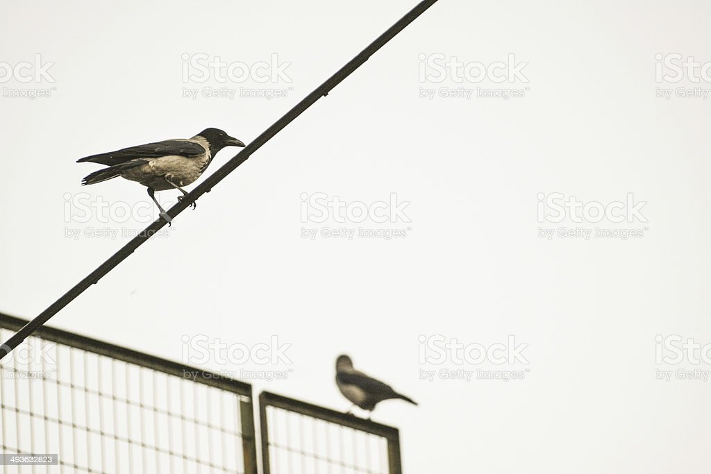 Crows watching stock photo