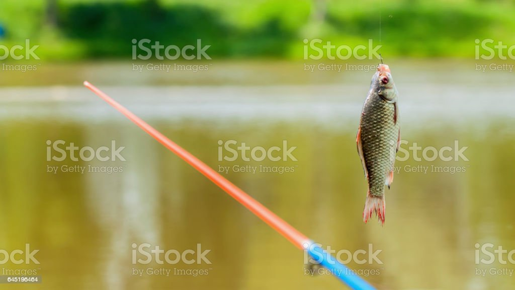 Crucian fish close-up on the fishing rod, hot summer day. Concept of summer countryside relaks stock photo