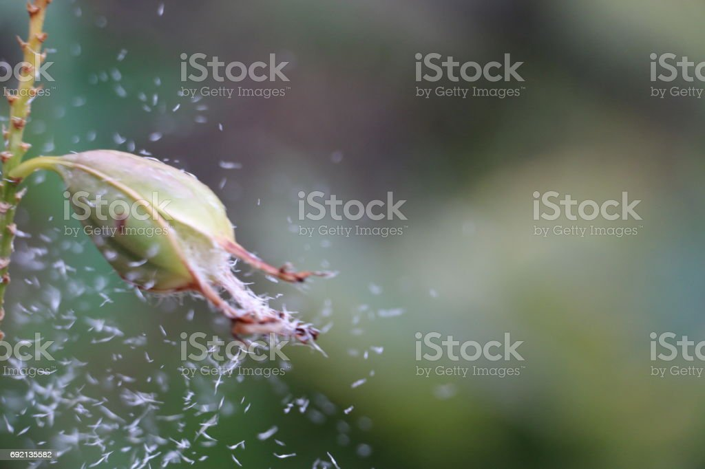 Crucifix orchid seed pod with seeds blowing away stock photo