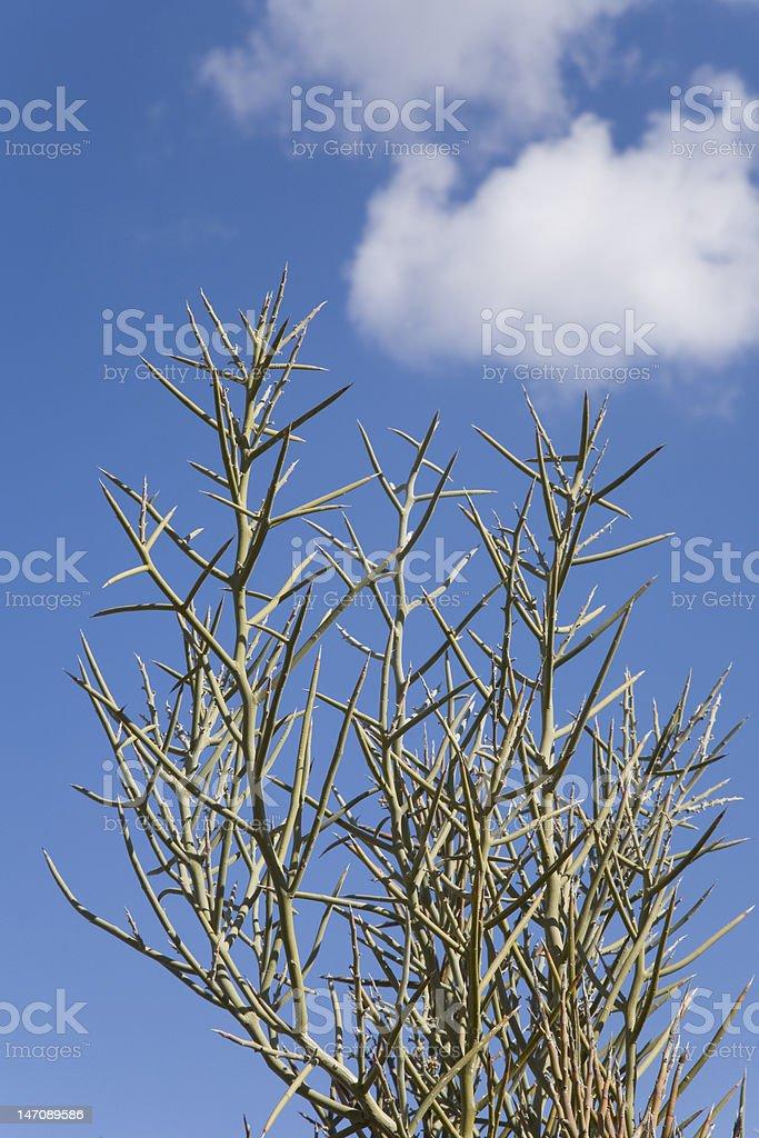 Crucifix Thorn Tree stock photo