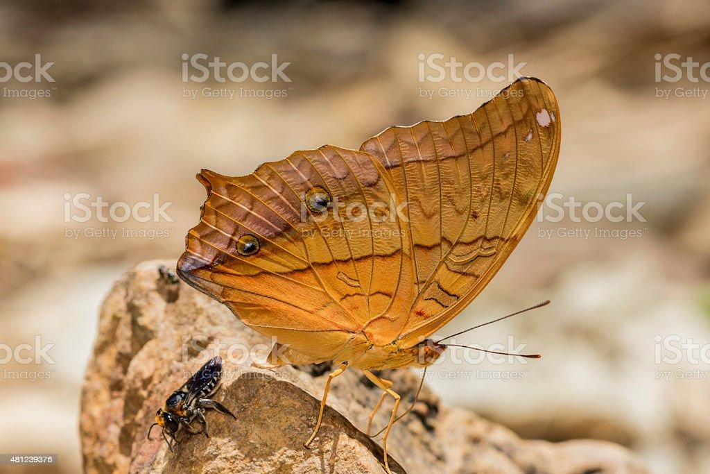 Cruiser Butterfly stock photo