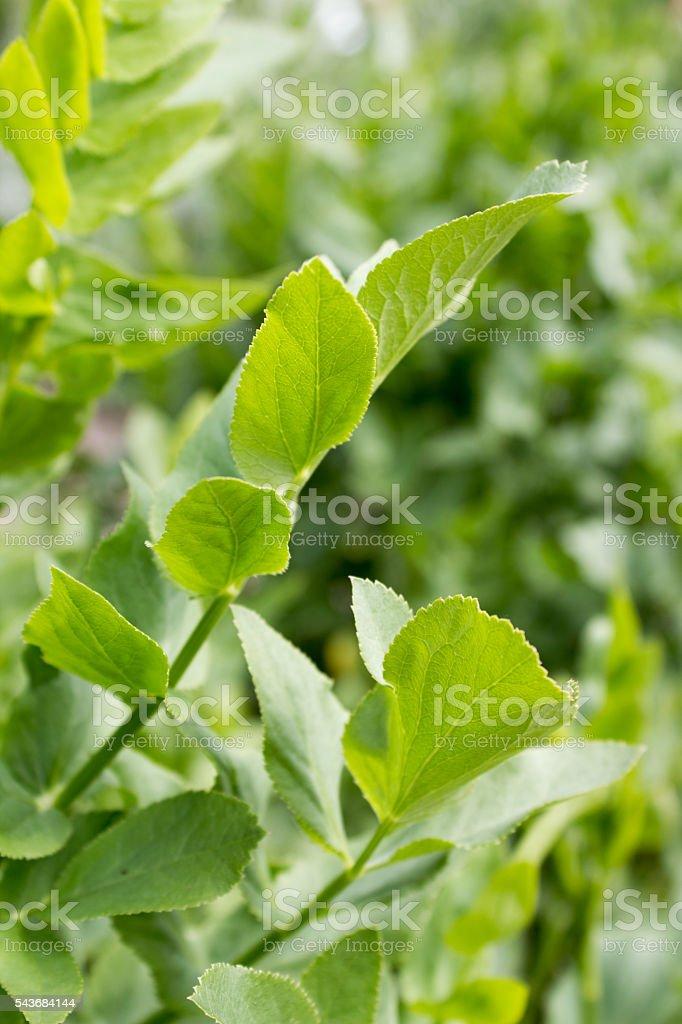 Crummock (Sium sisarum), green leaves stock photo