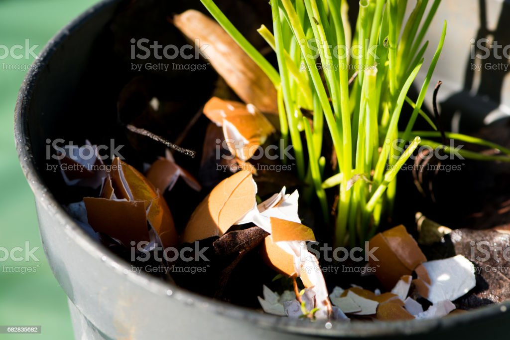 Crushed eggs shells around plants as natural garden organic fertilizer at home stock photo