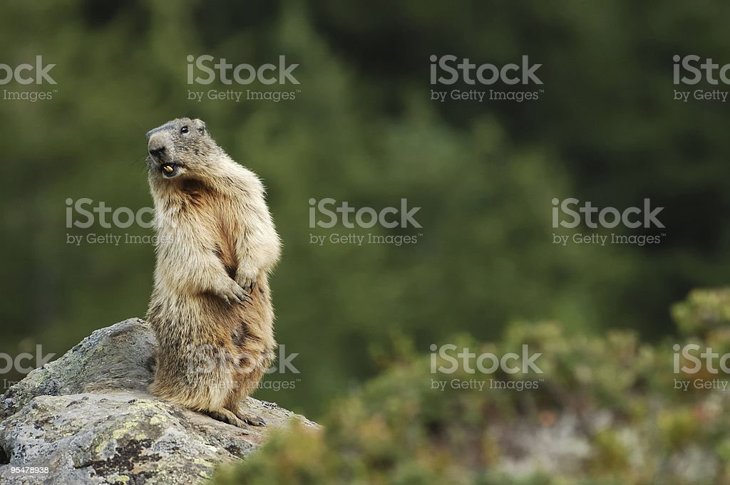 Cry of the wild groundhog stock photo
