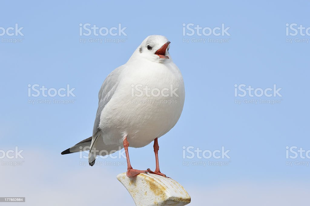 Cry Seagull royalty-free stock photo