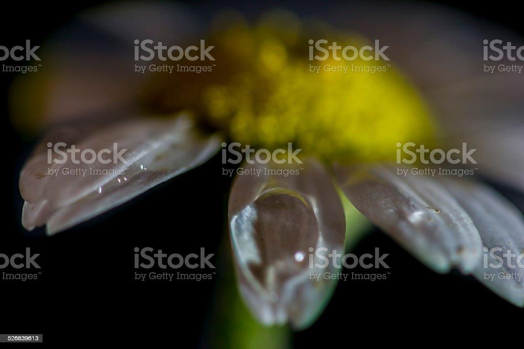 crying daisy stock photo