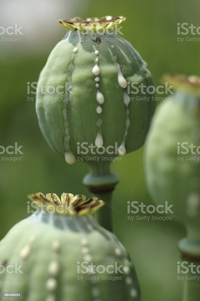 Crying poppy head, opium pland royalty-free stock photo