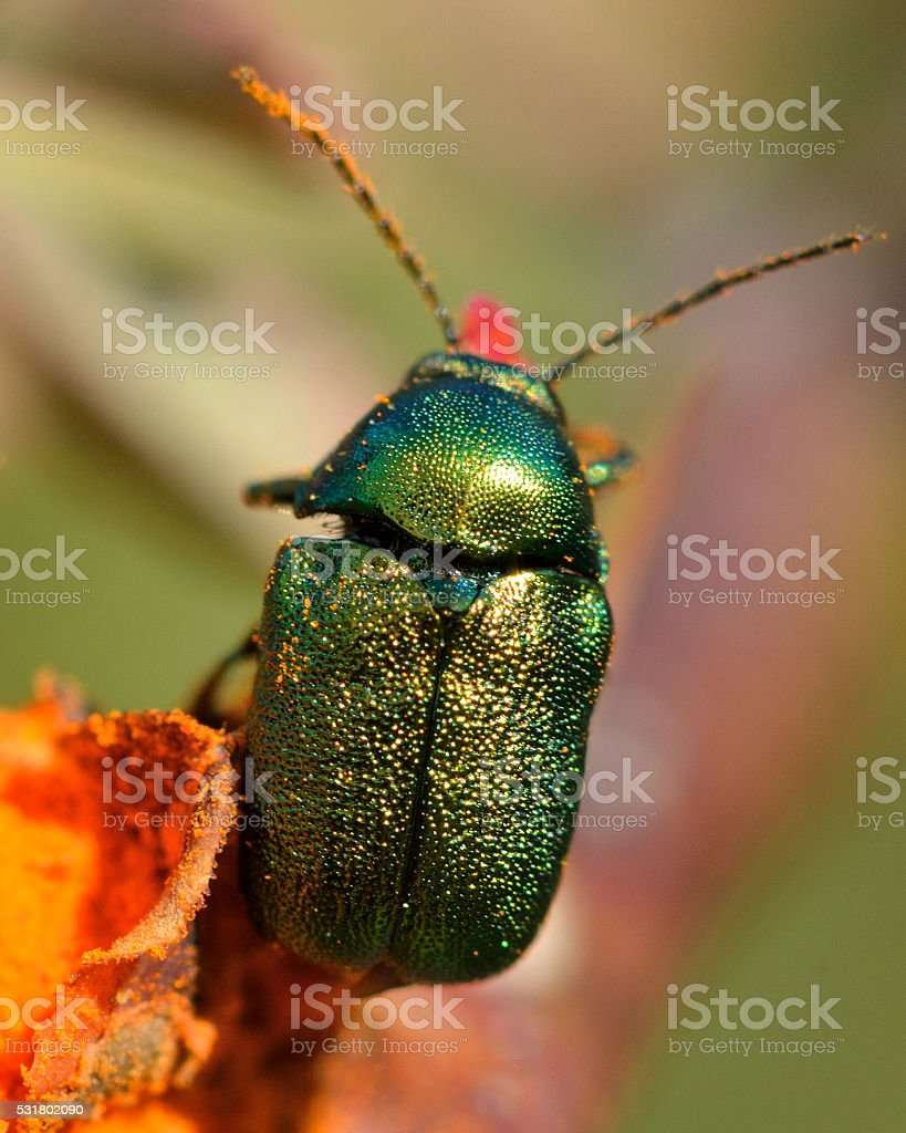 Cryptocephalus aureolus leaf beetle on orange flower stock photo